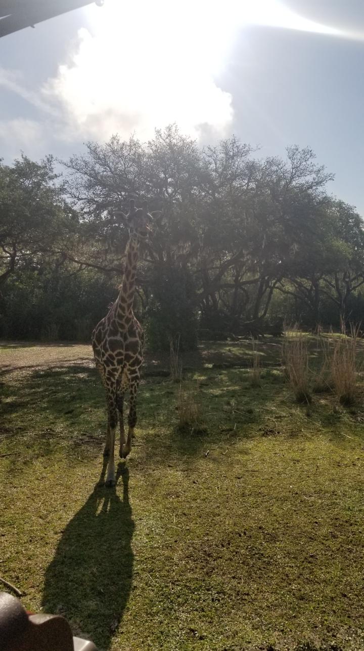 Kilimanjaro Safari- Animal Kingdom{Florida}